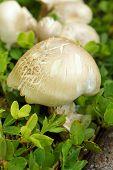 Shiitake Mushrooms In The Nature
