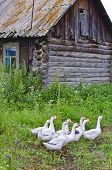 Geese In The Siberian Village