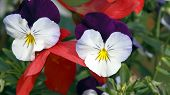 White and Purple Pansies