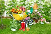 picture of wheelbarrow  - Wheelbarrow with Gardening tools in the garden - JPG