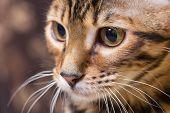 stock photo of tabby-cat  - Portrait of brown mackerel tabby cat close - JPG
