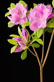stock photo of azalea  - Close up of Azalea Encore Autumn Lilac flowers buds leaves and branches on black background - JPG