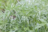 picture of sagebrush  - Silver sagebrush leaves with water drops on a rainy spring day macro - JPG