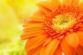 picture of extreme close-up  - Orange gerbera close - JPG