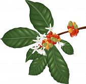 stock photo of species  - Illustration of Coffee species branch with coffee berries and blossom - JPG