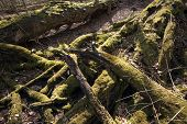 picture of rotten  - Rotten trees in a Danish forest broken down by storm - JPG