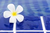 picture of plumeria flower  - Plumeria flowers are most fragrant at night - JPG