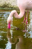 image of pink flamingos  - Pink flamingo looking down into the water in the pond - JPG