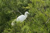 picture of conifers  - The Little Egret  - JPG