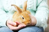 foto of dwarf rabbit  - Woman holding little cute rabbit - JPG