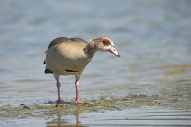 pic of boggy  - Egyptian goose  - JPG