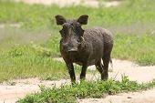 Wild Warthog Pig Dangerous Mammal Africa Savannah Kenya poster