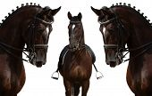 stock photo of girth  - horses isolated on white - JPG