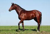 Oldenburger chestnut stallion