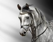 dapple-grey horse (arab)
