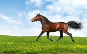 hanoverian horse trots - realistic photo-montage