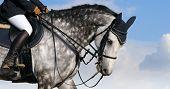 dapple-grey horse
