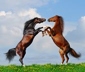 Battle of horses on green field