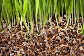 Fresh Green Grass Growing Vermiculite