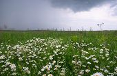 Shot of camomile field before cloudburst