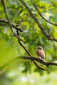 Nice Young Shrike Songbird Sits On The Branch poster