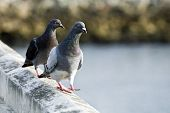 Two Pigeons Walking