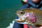 Rainbow Trout With Zebra Midge