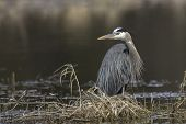 Large Great Blue Heron. A Portraiture Type Photo Of A Great Blue Heron By Hauser Lake In North Idaho poster