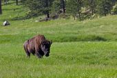 A Large Bull Bison Walking Across A Green Prairie In The Sunshine In Wind Cave National Park, South  poster