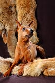 pic of miniature pinscher  - The Miniature Pinscher  - JPG