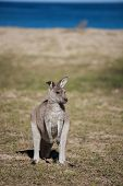 Portrait Of Young Cute Australian Kangaroo Standing In The Field And Waiting. Joey. Sea Background poster