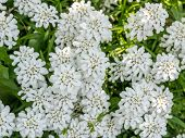 Small White Flowers Evergreen Flower Circling Iberis Sempervirens, Belongs To The Family Brassicacea poster