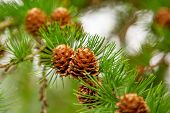 Pine Cones On The Branch. Close Up Cone On Pine, Shallow Deep Of Field. Evergreen Branch With Pine C poster