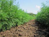 Plowed Field For Potato In Brown Soil On Open Countryside Nature. Potato In Plowed Field, Soil To Gr poster
