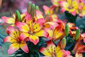Orange Yellow Lily Flower. Beautiful Lily Flower In Lily Flower Garden. Lily Lilium Hybrids Flower.  poster