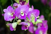 Orchid Flower, Dendrobium Orchidaceae, Flower In Garden At Sunny Summer Or Spring Day. Flower For Po poster