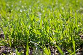 Field Of Young Green Grass, Closeup. Young Spring Grass. Field Of Young Wheat poster