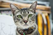 Gray Cat With Green Eyes And Decorations On The Cat Collar. Calm And Phlegmatic Pet Cat Resting In T poster