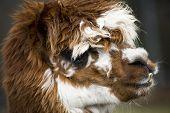 Calico Llama Alpaca Face Close Up