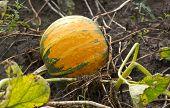 Pumpkin On Vegetable Garden