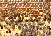 Life And Reproduction Of Bees.