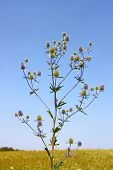 Feverweed Wild Plant