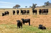 Cattle In A Row