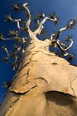 Perspective Shot Of Quiver Tree
