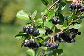 foto of aronia  - Black ashberry  - JPG