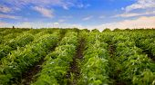 picture of soybeans  - soybean field - JPG