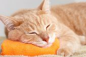 Red tabby cat sleeping isolated on white background.