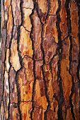 Brown Bark Of Pine Tree