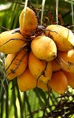 picture of naturist  - Zoomed shot of Tropical Coconut Tree top - JPG