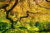Amazing Green Japanese Maple Tree, Nature Garden